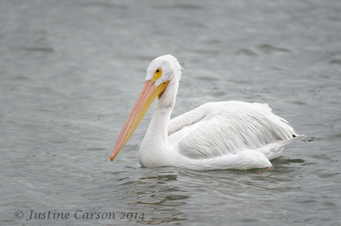 White Pelican, Texas Gulf Coast