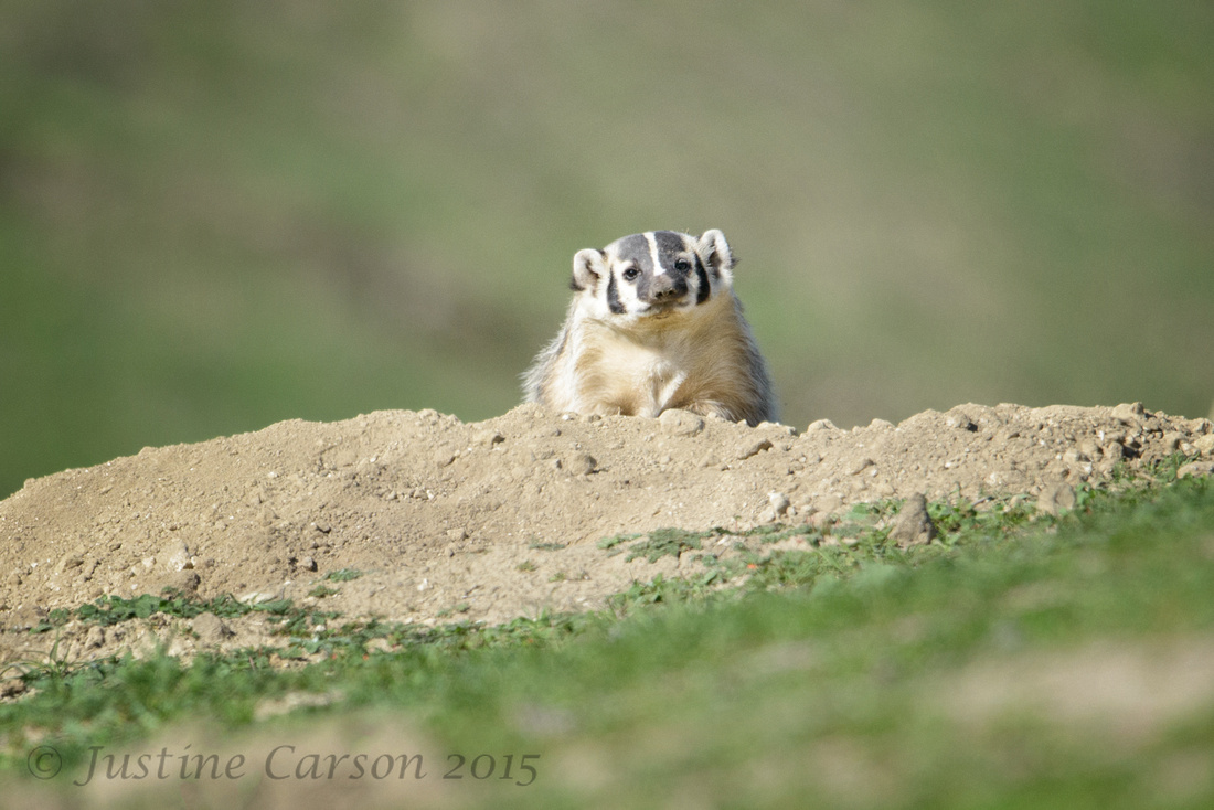 American Badger (Taxidea taxus), San Benito County, California