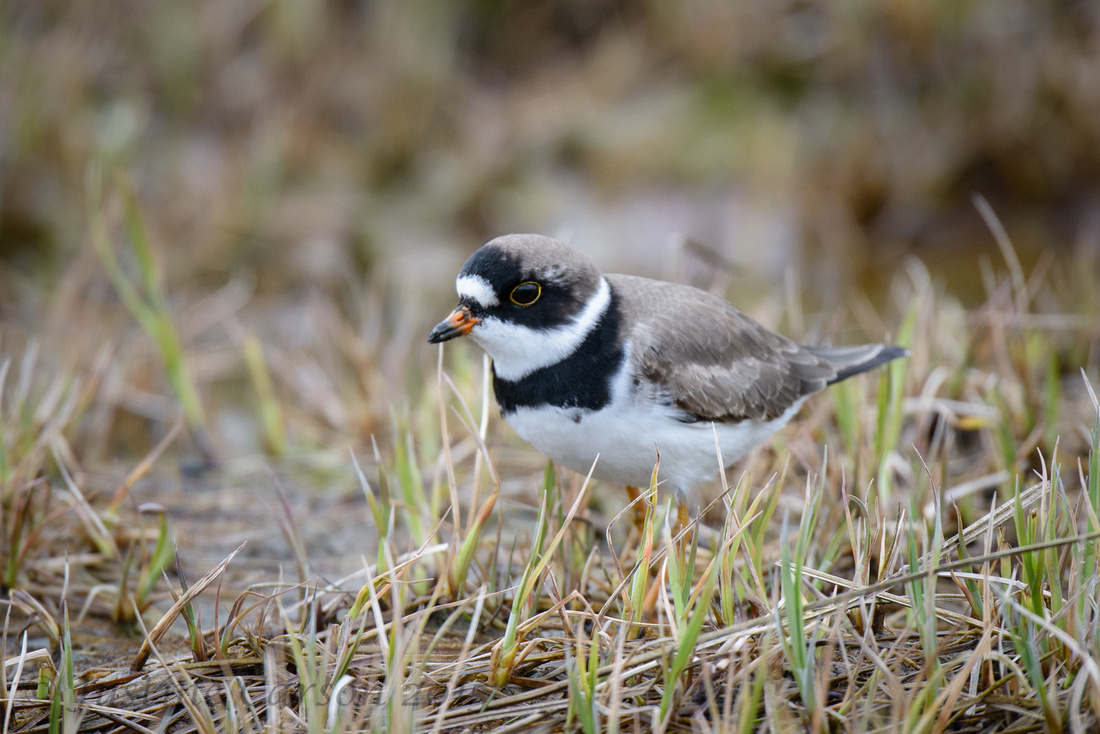 Semipalmated Plover, Hartney Bay, Alaska