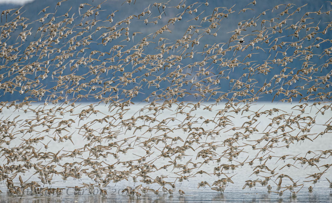 One Dunlin in a flock of sandpipers, Hartney Bay, Alaska