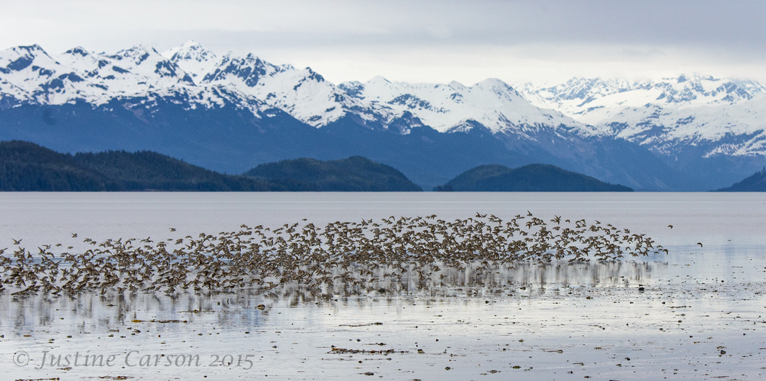 Shorebird flock, Hartney Bay, Alaska