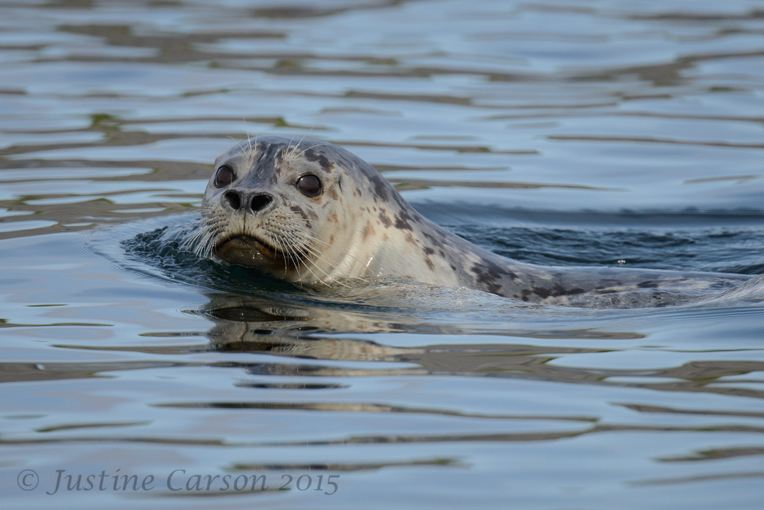 Harbor Seal (Phoca vitulina), near Channel Island, Prince Willia
