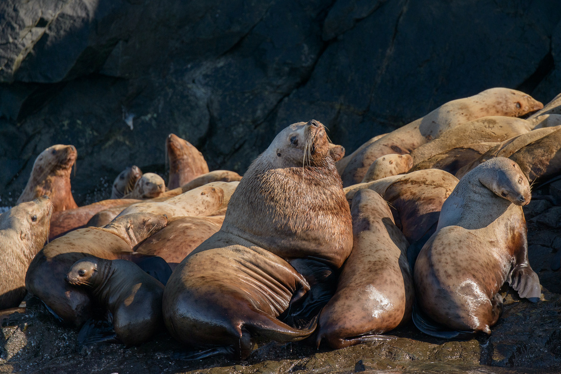 Steller's Sea Lion bull stands out from the crowd