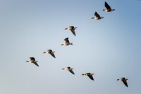 Greater White-fronted Geese in flight