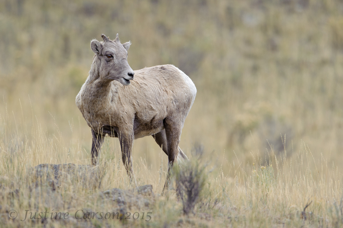 Juvenile Bighorn, Yellowstone National Park