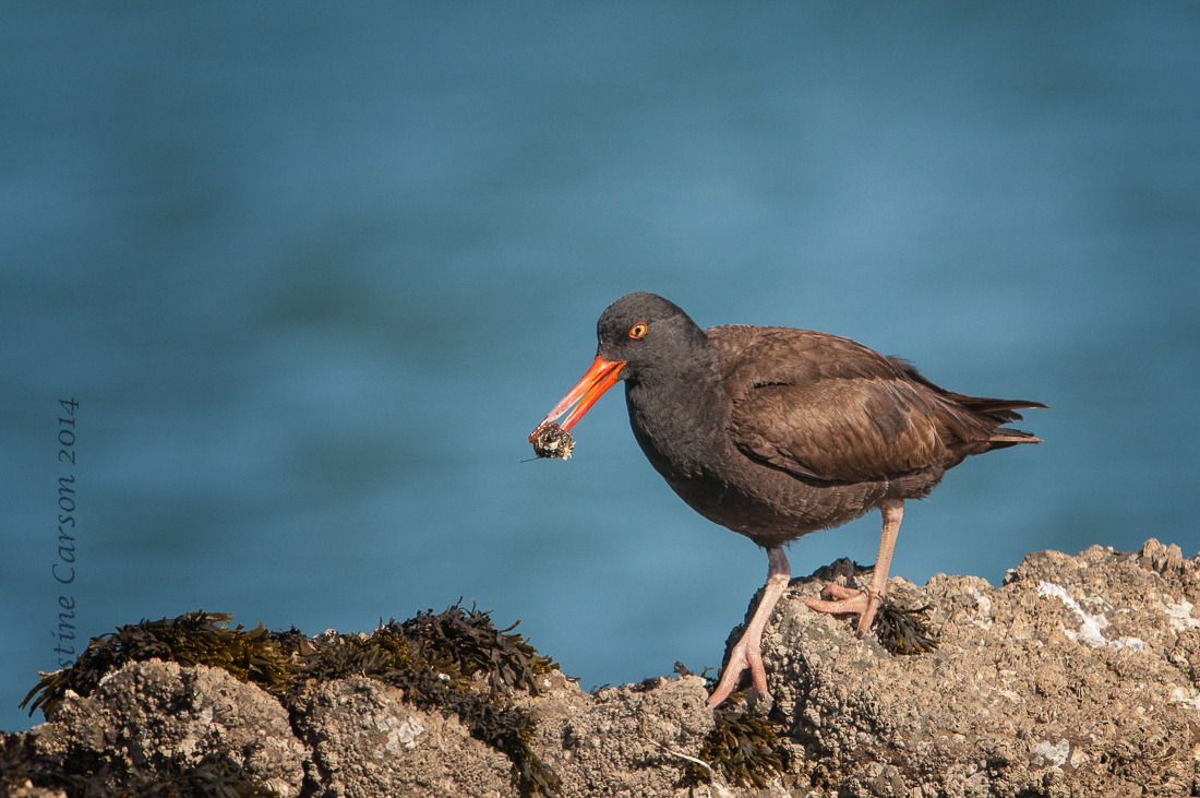 Black Oystercatcher (Haemapotus bachmani) feeds on small mollusk
