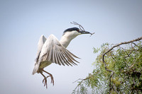 Black-crowned Night Heron lands in rookery with nesting material