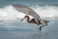 Reddish Egret, Fort Desoto Beach, Florida