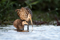 Limpkin and chick