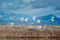 Tundra Swans in flight over wetlands