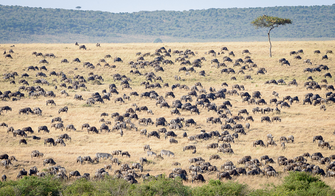 Mixed herds of Wildebeest and Burchell's Zebra congregate and graze near the Mara River