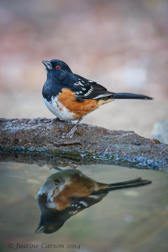 Spotted Towhee (Pipilo maculatus), Monterey County, California