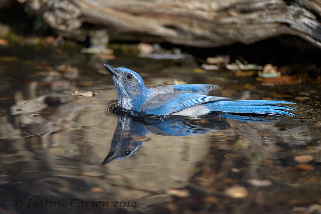 Western Scrub Jay (Aphelocoma californica), Monterey County, California