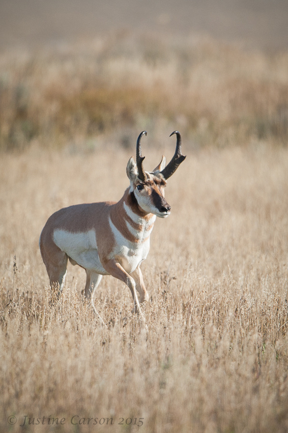 Male Pronghorn (Antilocapra americana), Grand Teton National Park, Wyoming