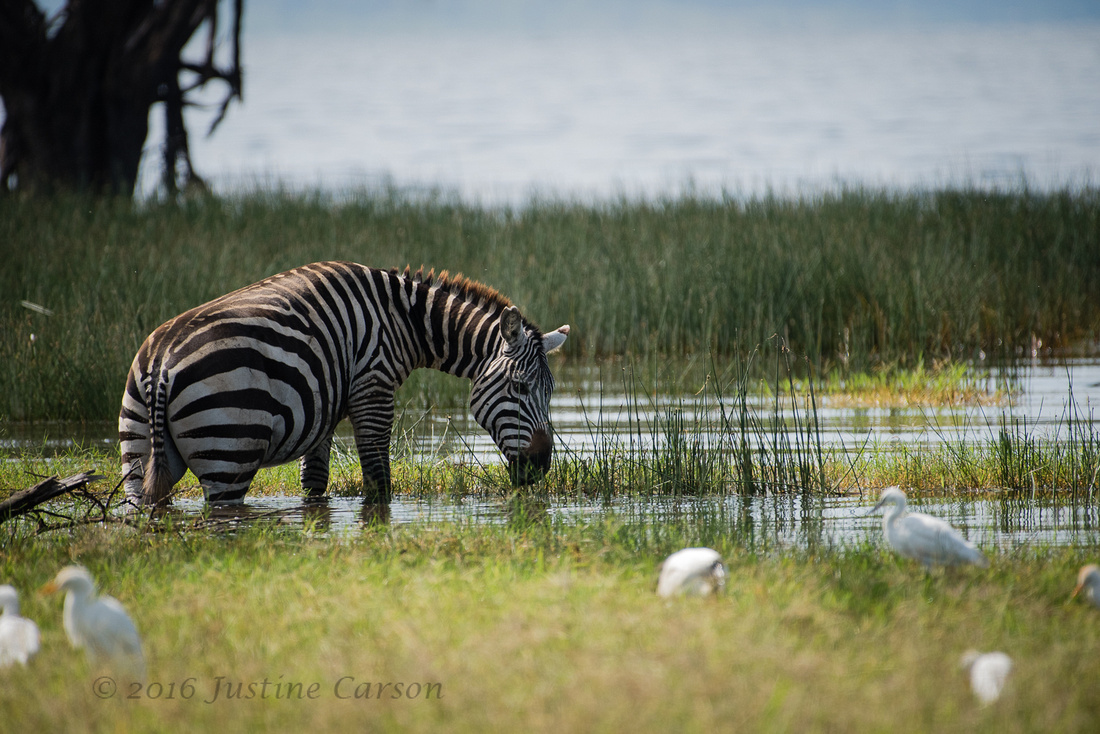 Zebra grazing at the flooded edge of Lake Nakuru