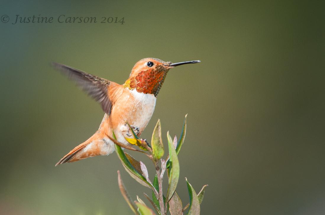 Allen's Hummingbird (Selasphorus sasin), UCSC Arboretum, Santa C