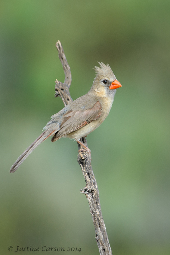 Female Northern Cardinal (Cardinalis cardinals)