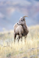 Young Bighorn ram, Yellowstone National Park