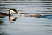 Clark's and Western Grebes, Clear Lake, California