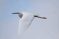 Snowy Egret in flight, Newark, California