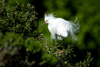 Snowy Egret displays breeding plumage, Newark, California
