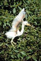 Snowy Egret chick exercises wings in preparation for fledging