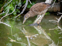 Juvenile Black-crowned Night Heron practicing fishing skills