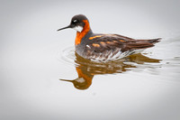 Red-necked Phalarope (Phalarophus lobatus) in breeding plumage, Iceland