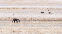 Coyote (Canis latrans) scavenging in flooded field