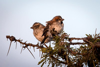 Rufus Sparrows, early morning at Ol Pejeta Conservancy