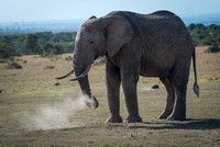 Elephant digging for roots, raising dust, Ol Pejeta Conservancy,