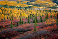 Fall color in the boreal forest along the Dalton Highway
