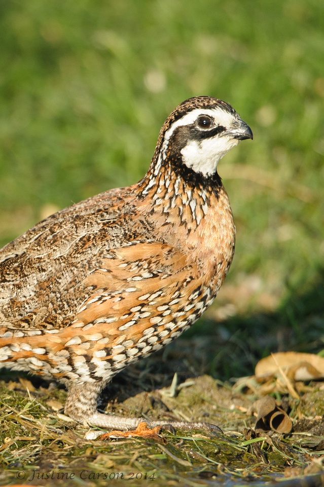 Northern Bobwhite, South Texas
