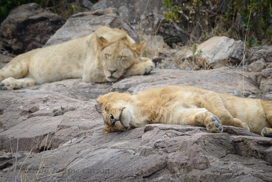 Panthera Leo: Taking a siesta