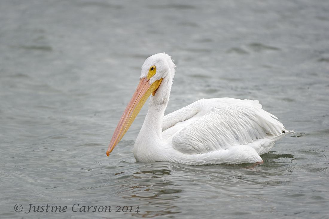White Pelican, Texas Gulf Coast
