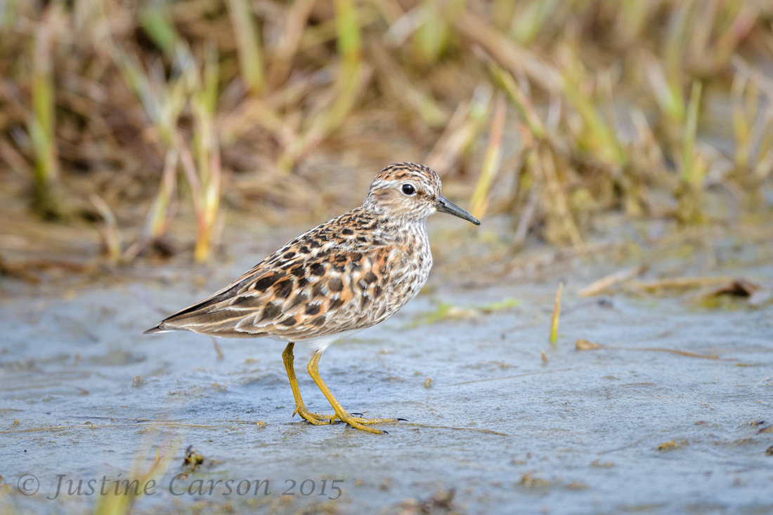 Least Sandpiper, Hartney Bay, Alaska