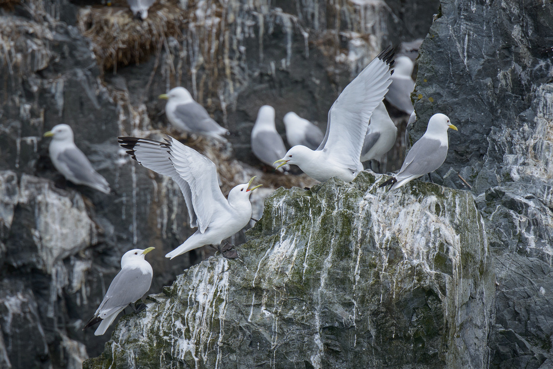 Black-legged Kittiwakes, Prince William Sound, Alaska