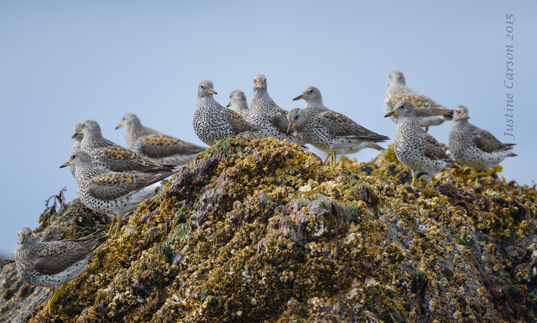 Surfbirds on rocky shore of Knowles Bay, Prince William Sound