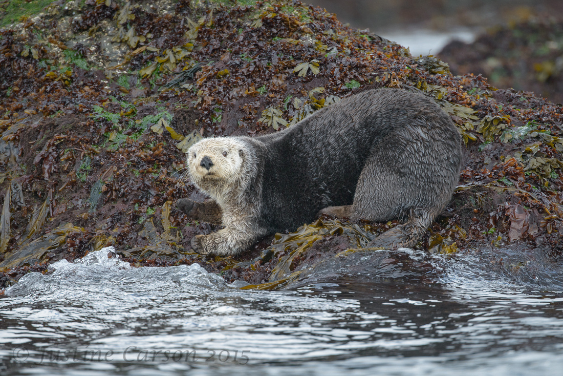 Northern Sea Otter (Enhydris lutra), Prince William Sound, Alask