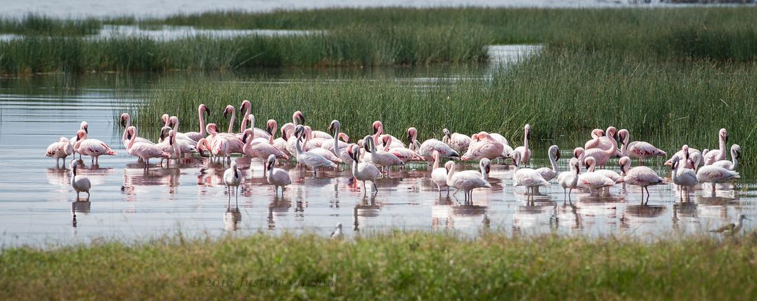 A small group of flamingoes foraging near shore, Lake Nakuru