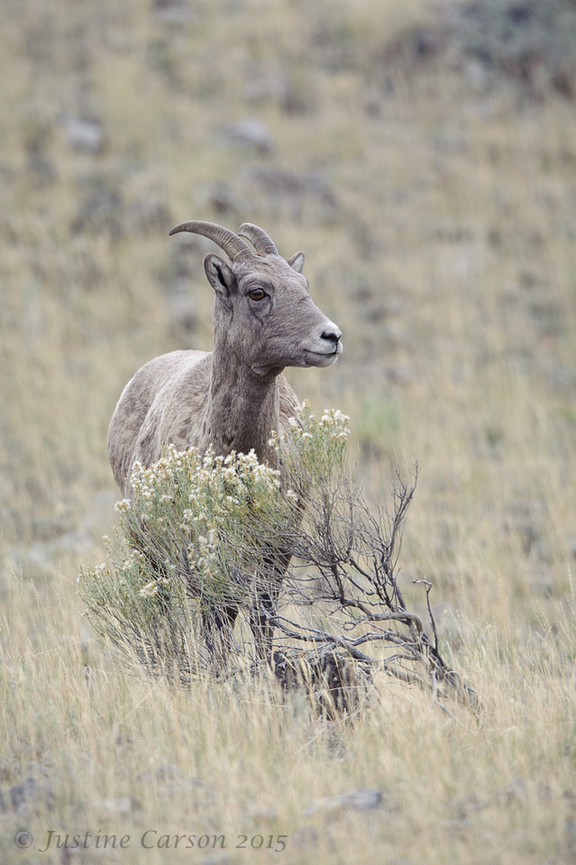 Bighorn ewe, Yellowstone National Park