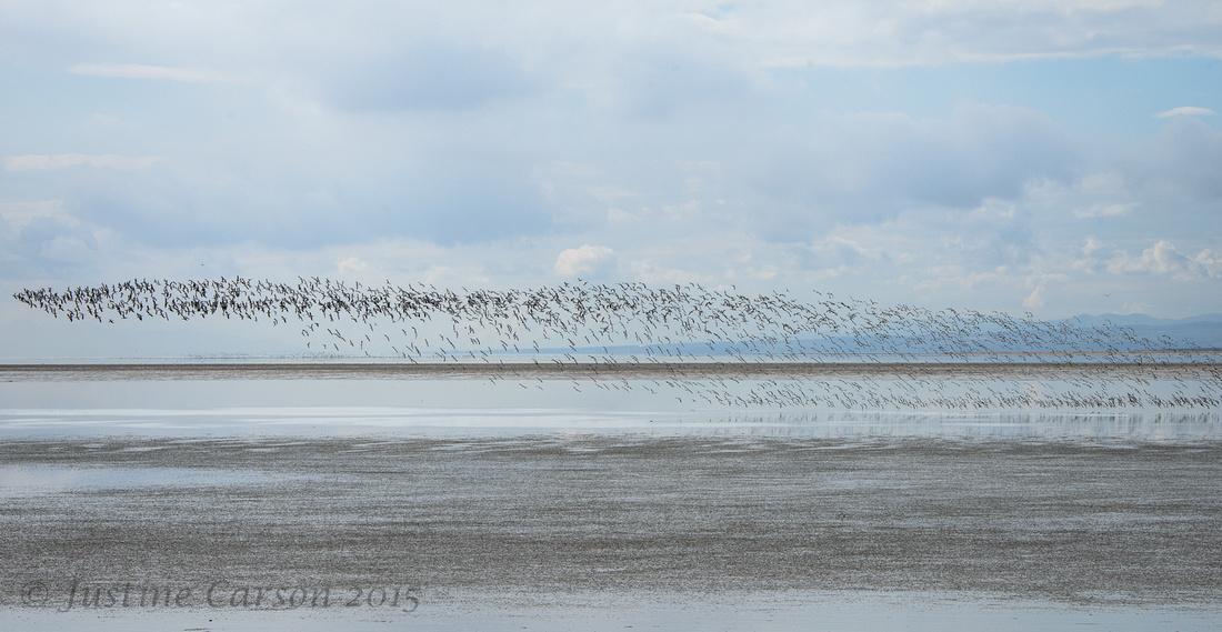 Shorebird flock, Great Salt Lake
