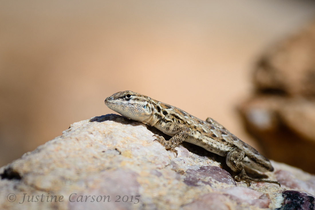 Antelope Island lizard