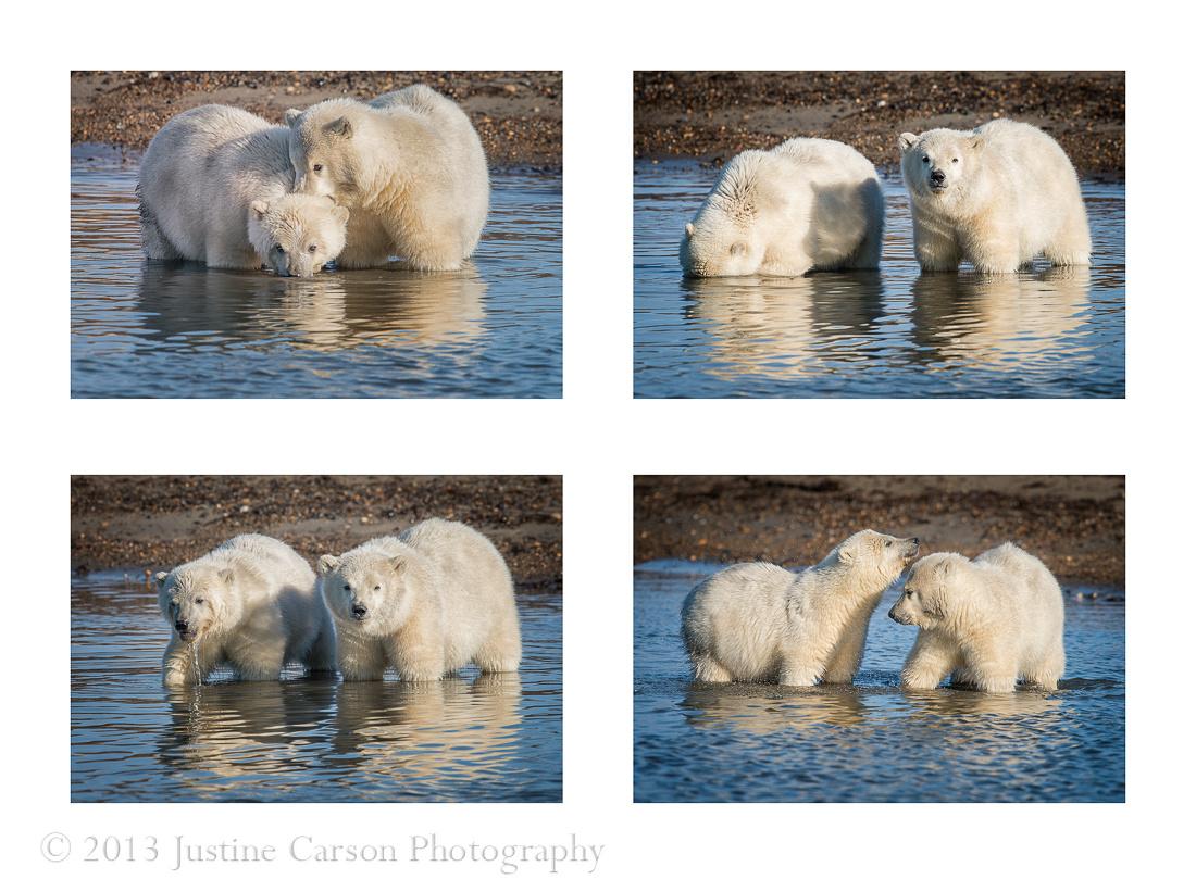 Montage of polar bear (Ursus maritimus) cubs playing on the beach, Beaufort Sea