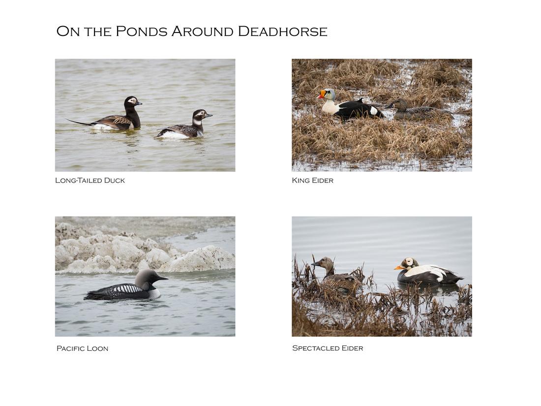 On the Ponds around Deadhorse