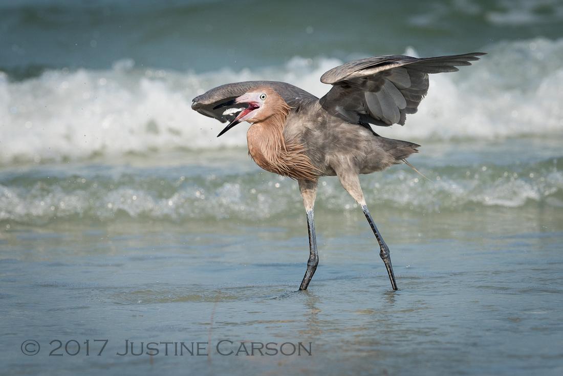 Reddish Egret catches a fish