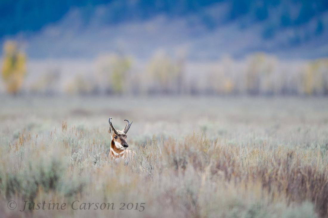 Male Pronghorn (Antilocapra americana), Grand Teton National Park, Wyoming