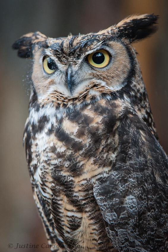 Great-horned owl (Bubo virginianus)