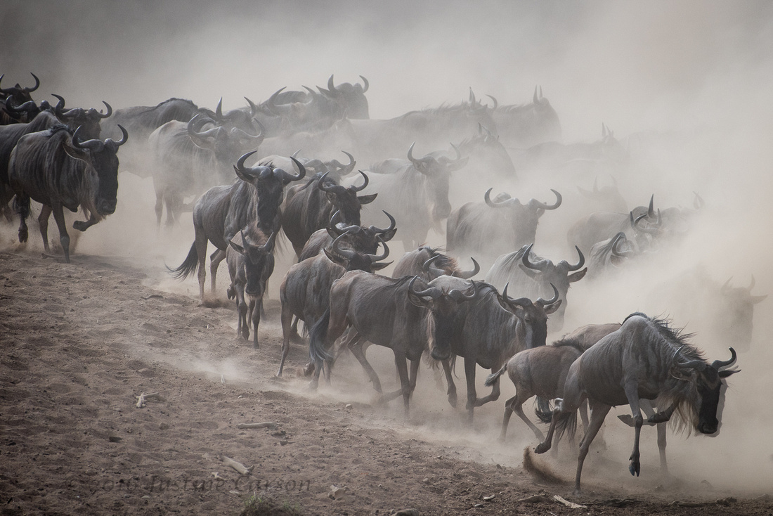 Chaos reigns as the herds charge down the river bank and enter the Mara River