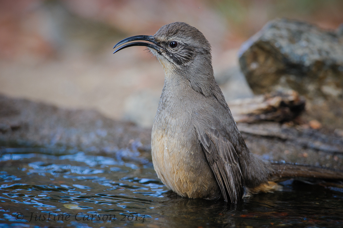 California Thrasher (Toxostoma redivivum), Monterey County, California